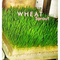 Benih Microgreens WHEAT GRASS Sprout 5 gr - repack