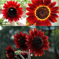bibit flower (bunga matahari velvet queen ) sunflower velvet queen wildflower, purple, rare