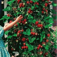 Benih Biji red climbing strawberry Import - Repack 5 biji