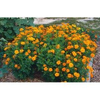 Benih Bunga Cosmos Bright Lights Mix Orange and Yellow Flower