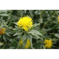 Benih Bunga Safflower 5pcs