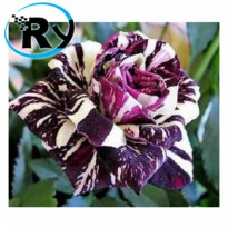 (Termurah) Benih Mawar Black Dragon Rose Import - Black Dragon