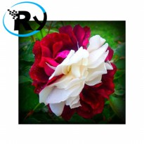(Termurah) Benih Mawar Zampa Dust Rose Import - White Red