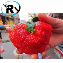 (Termurah) Benih Fan Palm Strawberry Strawberry Kipas Palem Import - Red