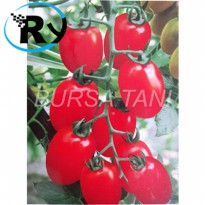 (Termurah) Benih Tomat Cherry Merah Red Super Import - Red