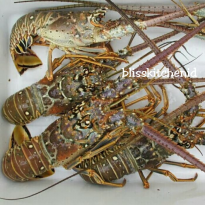 Lobster Laut Beku / Frozen Sea Lobster 500gr