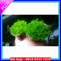 Tanaman Aquascape - Foreground/Karpet Tanaman Aquascape Micranthemum sp Montecarlo di Cup