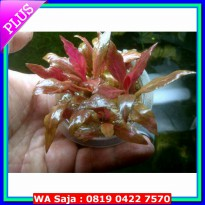 (Premium) Tanaman Aquascape Alternanthera sp Rosanervig