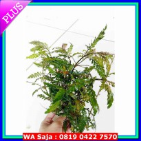 (Limited Offer) tanaman Aquascape hygrophila pinnatifida