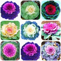 100 Pcs/Bag Kale Seeds Flowering Ornamental Cabbage Seeds Plant Flowering In Bonsai Or Pot Garden Decoration Flower Seeds 4
