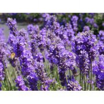 Benih / seeds / bibit flower Herb Seeds - 'Vera Lavender' rare,puprle, beatuiful and unique