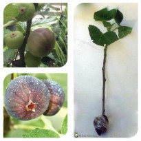 Bibit Cangkok Pohon Buah Fig Tin Ara Jenis LSU PURPLE