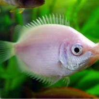Ikan Kissing Pink Hias Aquarium Aquascape