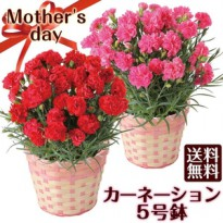 benih/bibit/seeds pink carnation, beautiful pink cute carnation