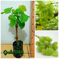 Bibit Anggur Autumn King Seedless (Tanpa Biji)