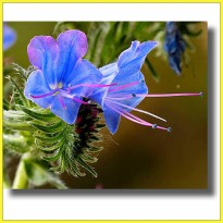 Madu Airborne VIPERS BUGLOSS 250 gram - New Zealand Honey Import