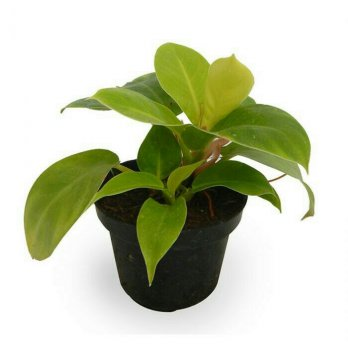 Philodendron Moonlight super, daun awet segar