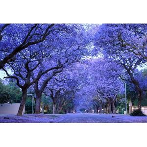 Bibit / Benih / Seeds Blue Jacaranda Pretty Tree Pohon Biru - Ungu