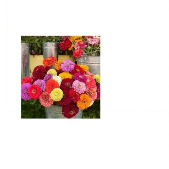 Bibit / Benih / Seeds Zinnia Dahlia Flowered Mix Mudah Tumbuh